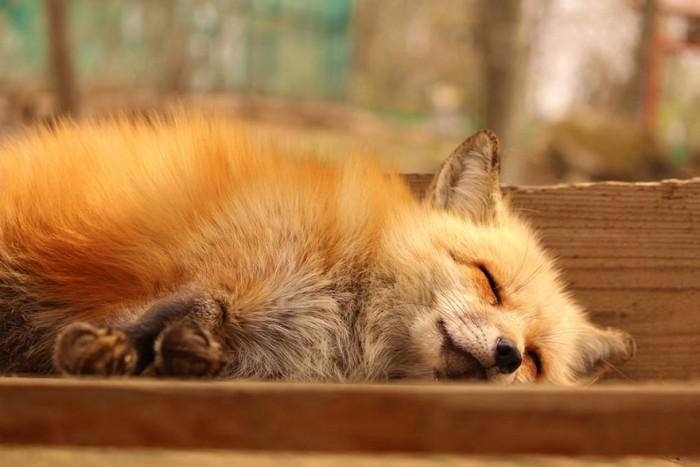 Fox village in Japan – Album on Imgur