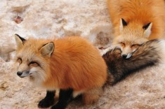 Fox village in Japan – Album on Imgur