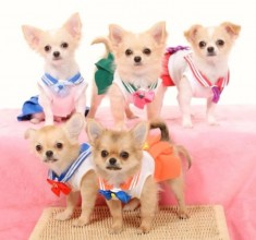 Doggie sailor moon cosplay! Sailor chiwawa